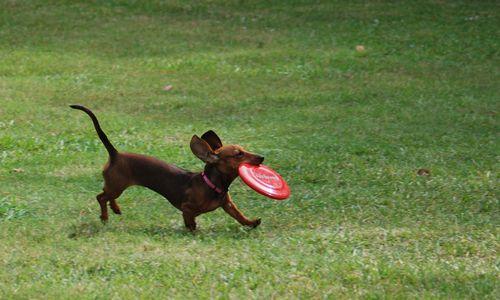 Daisy-frisbee